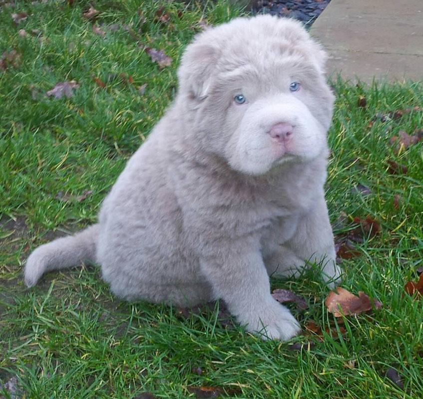 Bear Coat Shar Pei grey