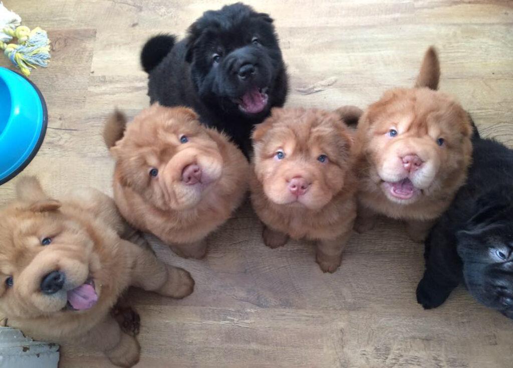 Bear Coat Shar Pei multiple puppies