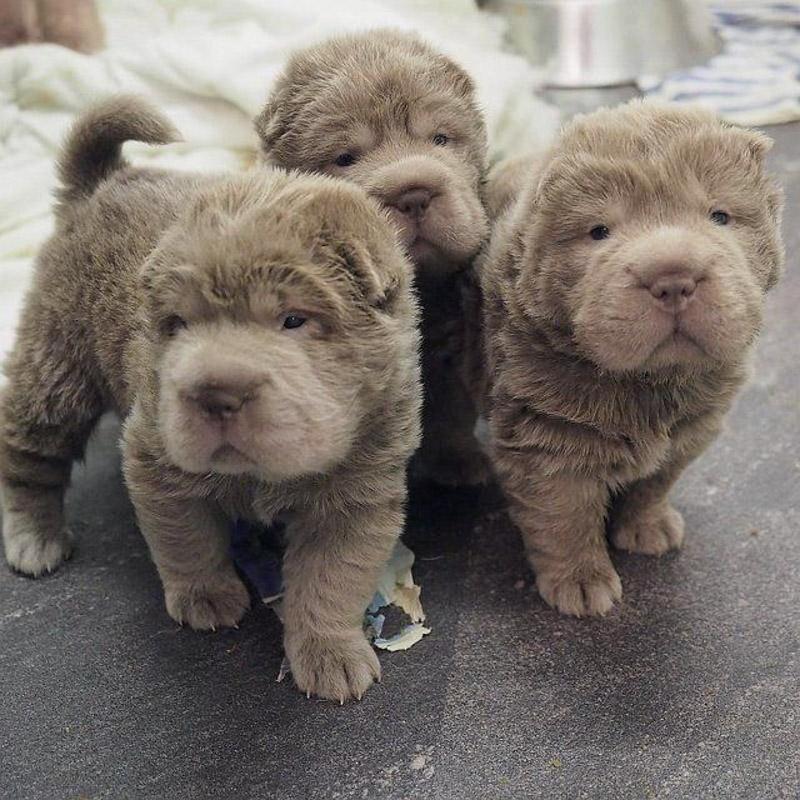 Bear Coat Shar Pei puppies