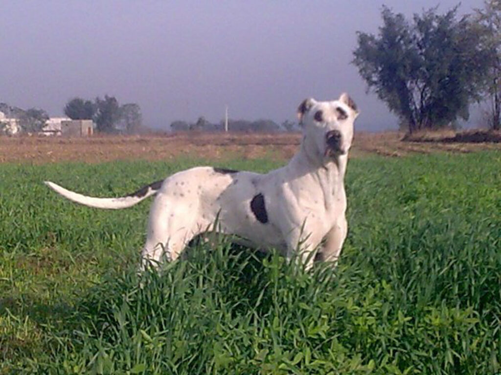 Bully Kutta dog