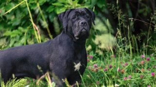 Cane Corso black dog