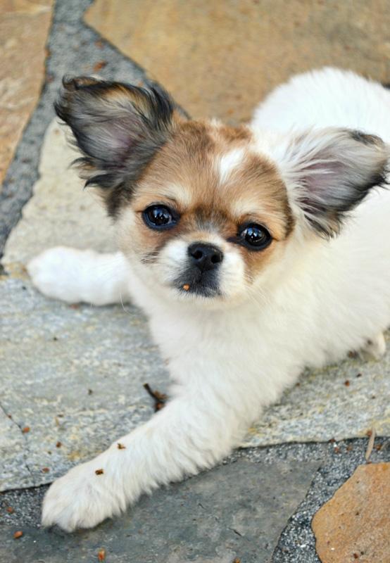 Chihuahua Shih Tzu Mix big ears