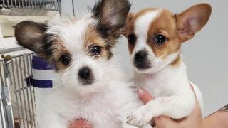 Chihuahua Shih Tzu Mix two puppies