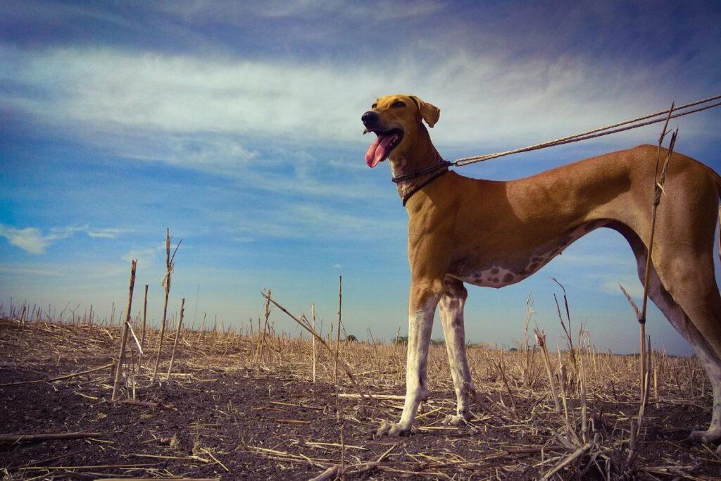 Chippiparai best indian dog breeds