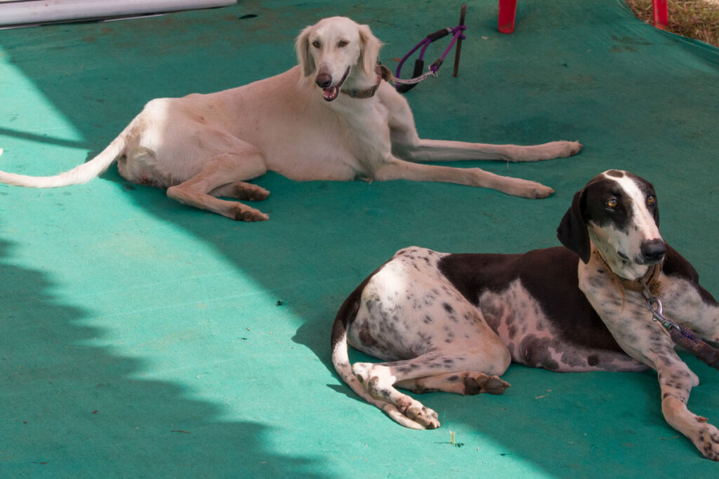 2 Mudhol Hounds white and speckled