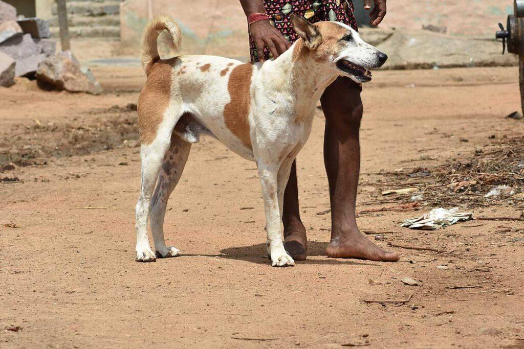 Pandikona Dog