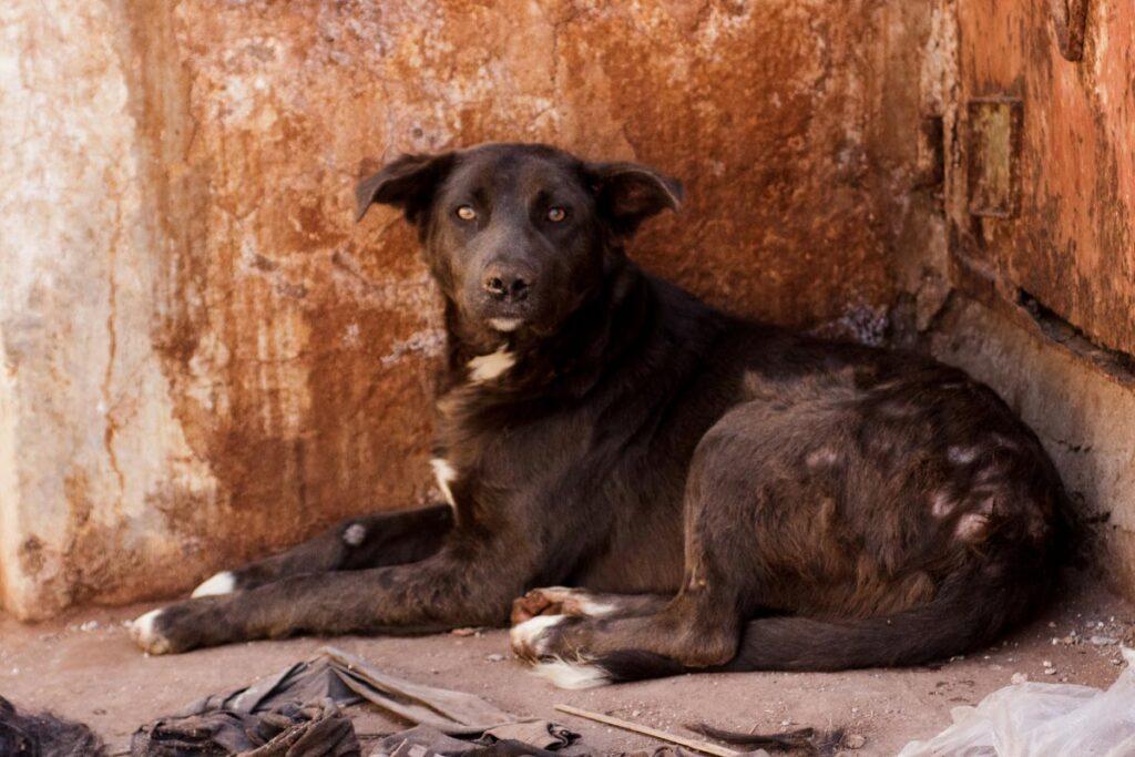 brown Pariah dog