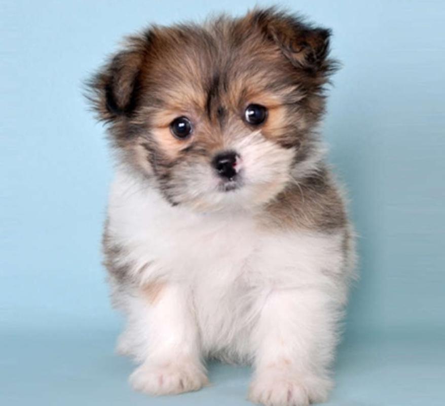 Pomeranian Mixed Shih Tzu brown and white pu