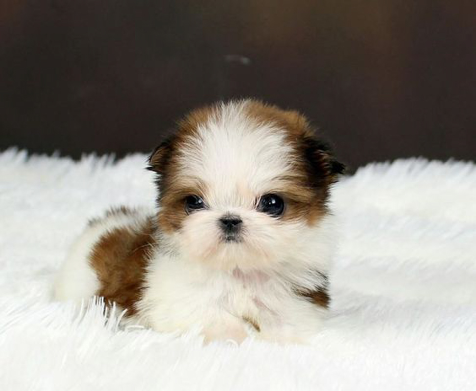 Pomeranian Mixed Shih Tzu puppy