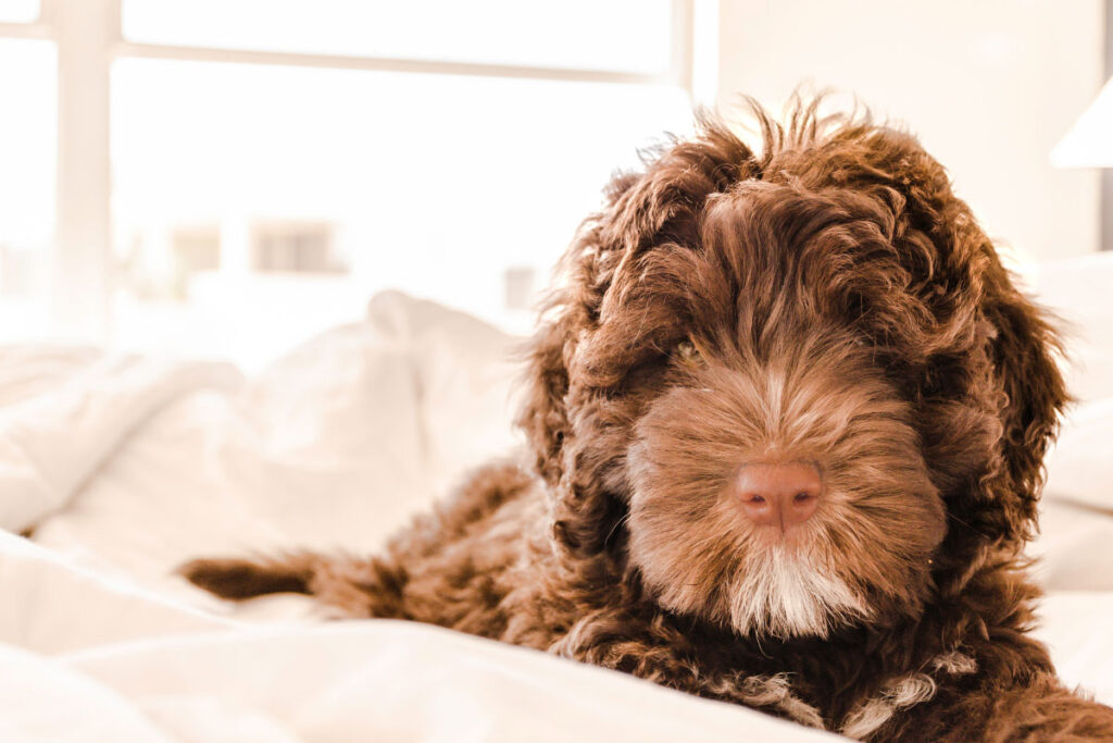 Portuguese Water Dog brown and white puppy