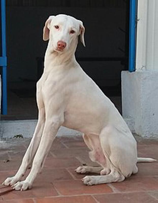 white Rajapalayam