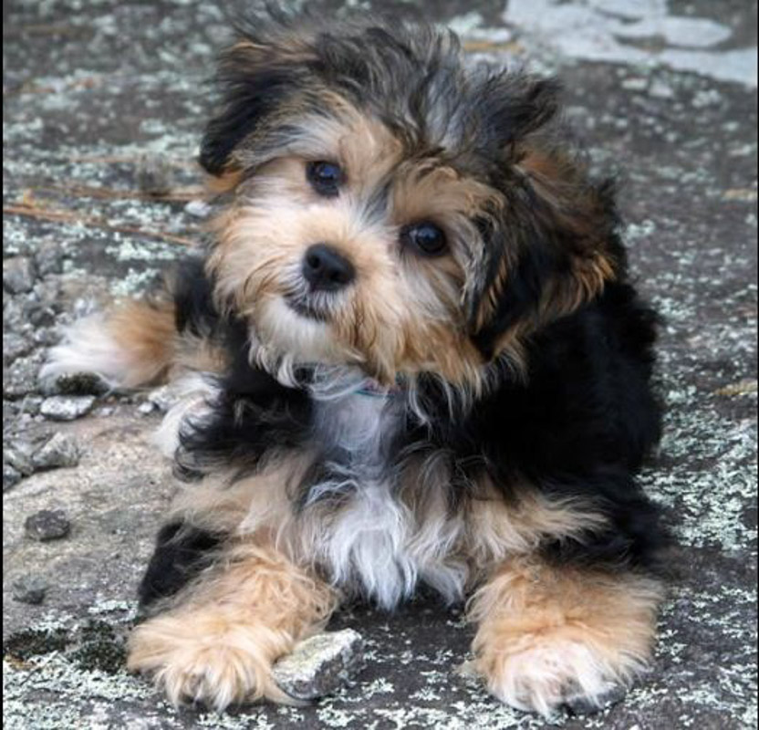 Shih Tzu Mixed with Yorkie brown and black