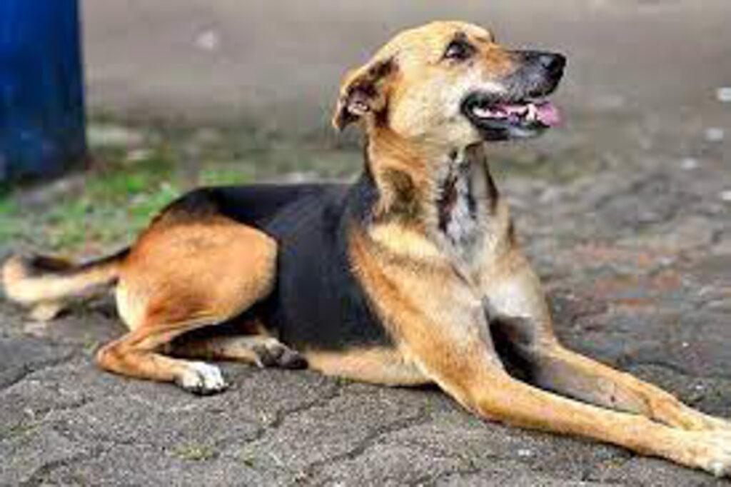 brown Sinhala Hound sitting on ground