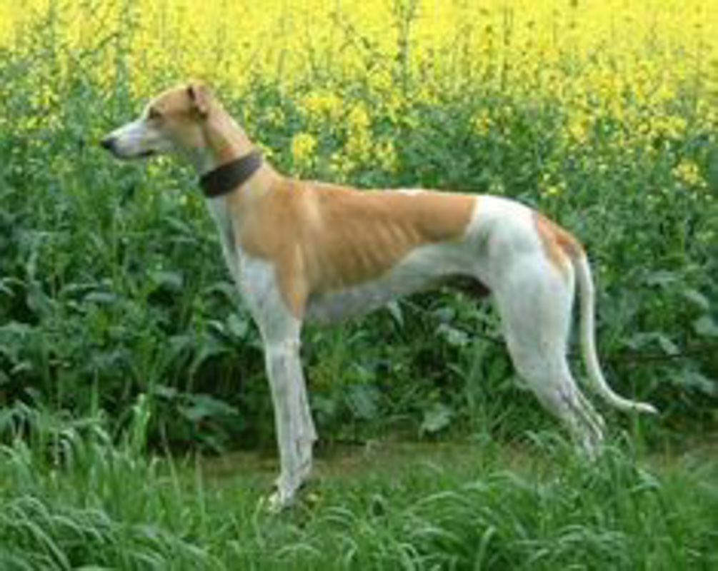 brown and white Tazi dog in field