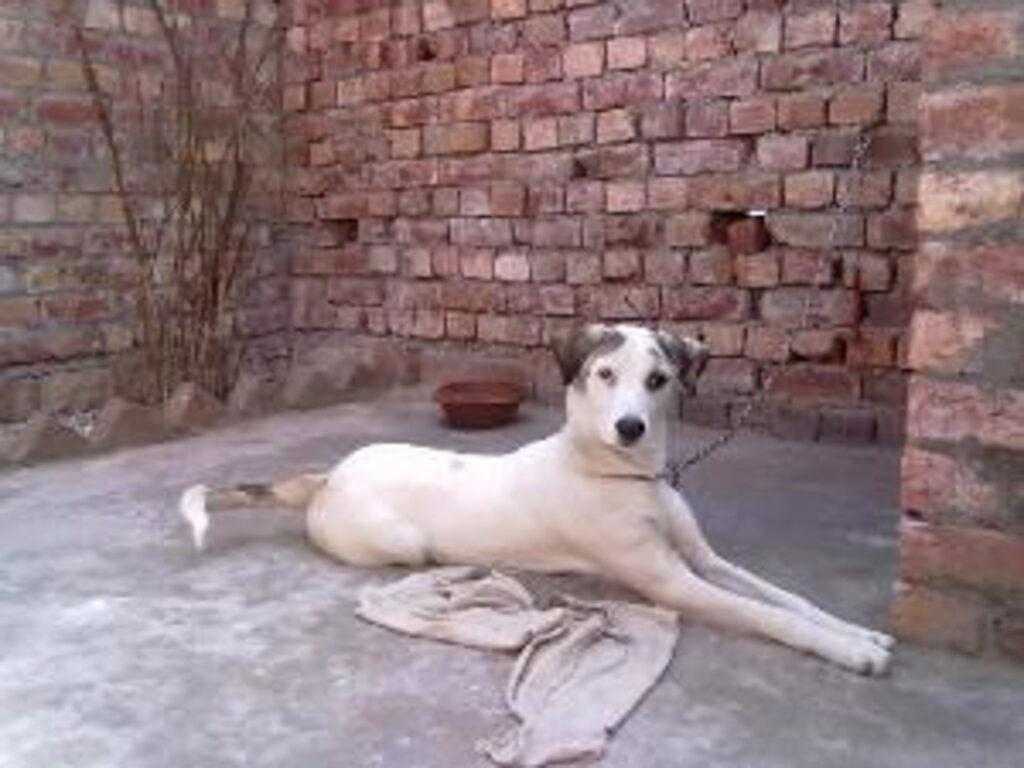 white Vikhan Sheepdog on ground