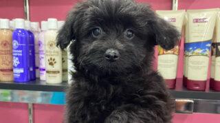 black pomapoo dog