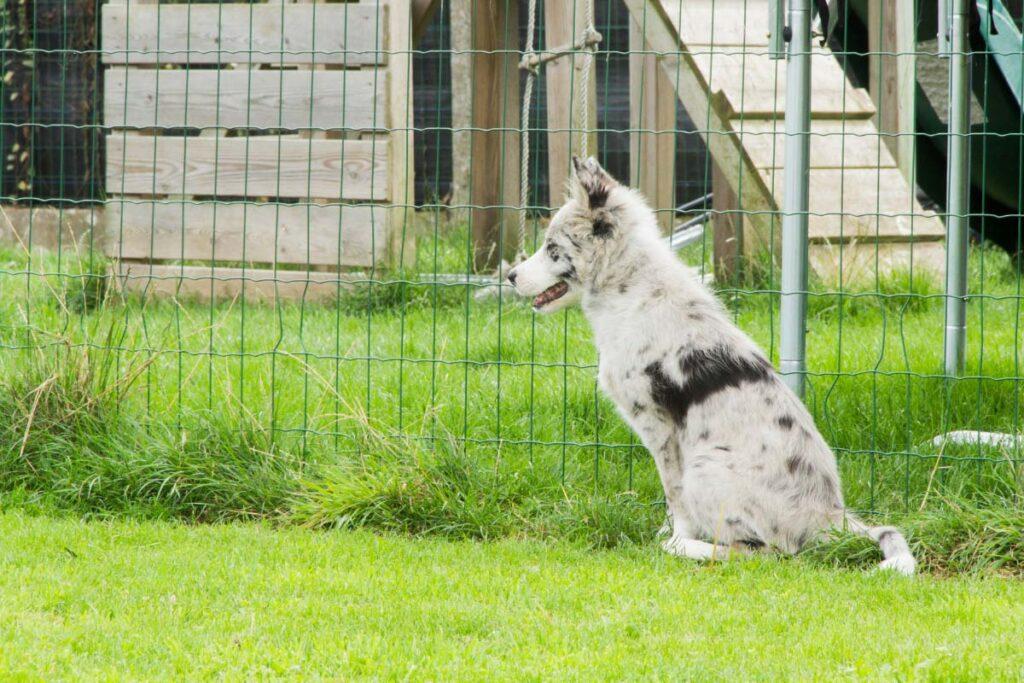 border collie blue merles against fence