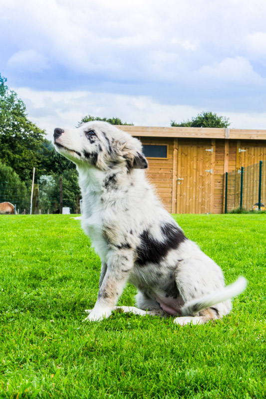 border collie blue merles at attention