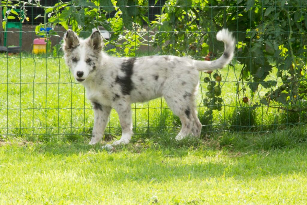 border collie blue merles with tail up