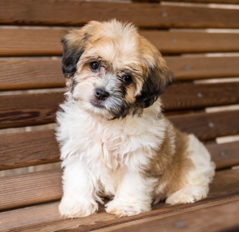brown and white zuchon dog