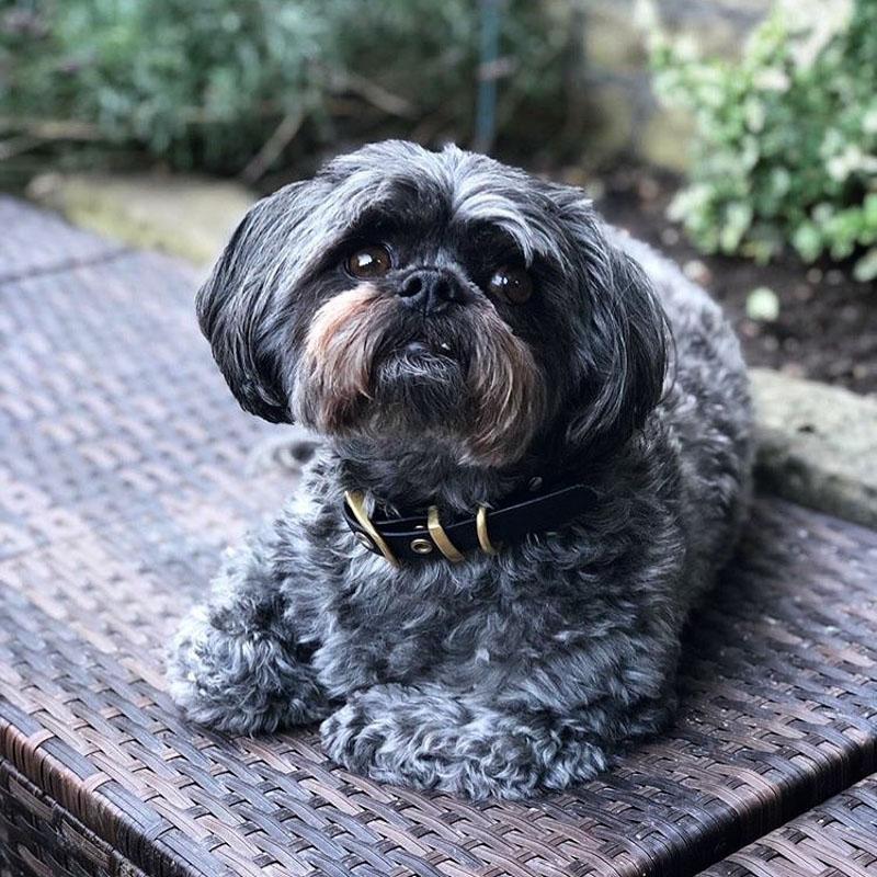 grey zuchon dog
