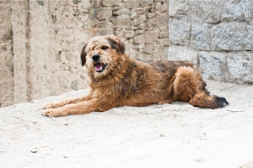 himalayan sheepdog
