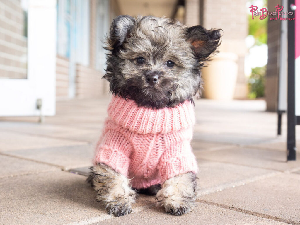 pomapoo in a jumper