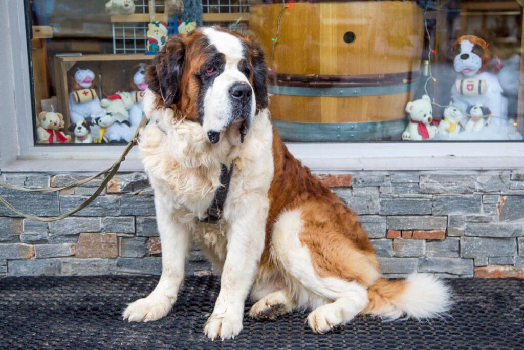 saint bernard most aggressive dog breeds