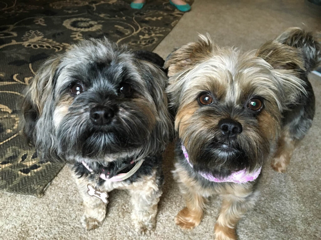 two Shih Tzu Mixed with Yorkie