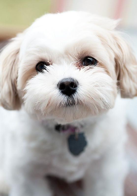 white zuchon dog
