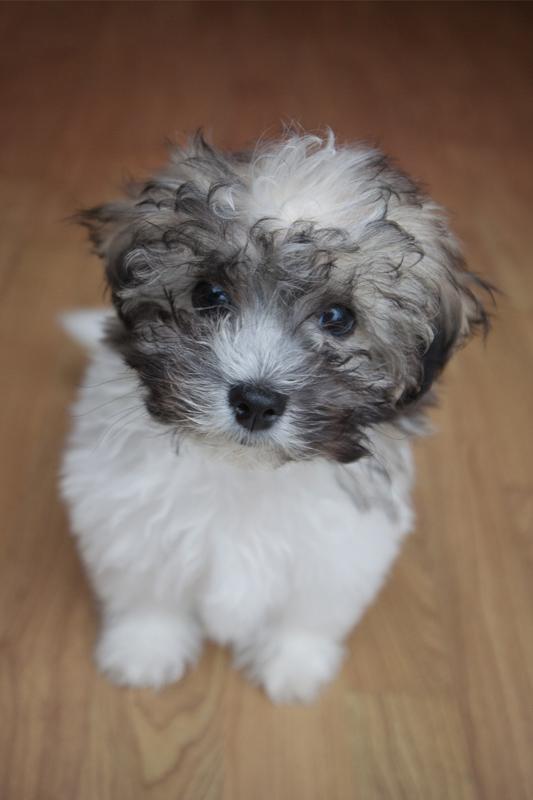 zuchon dog black and white