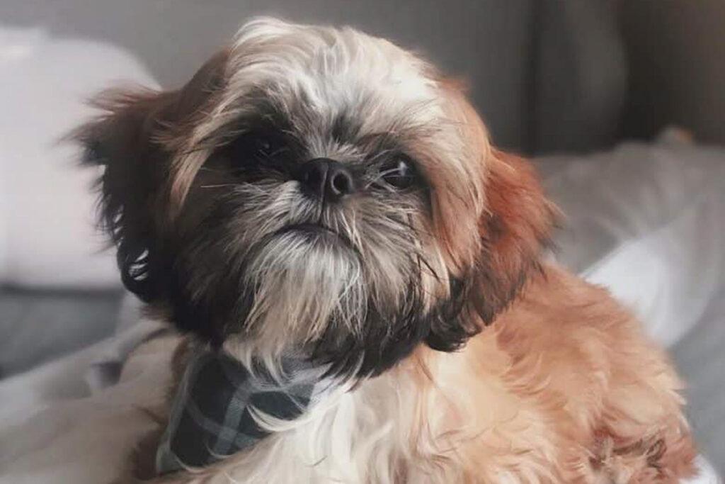 zuchon dog brown and white