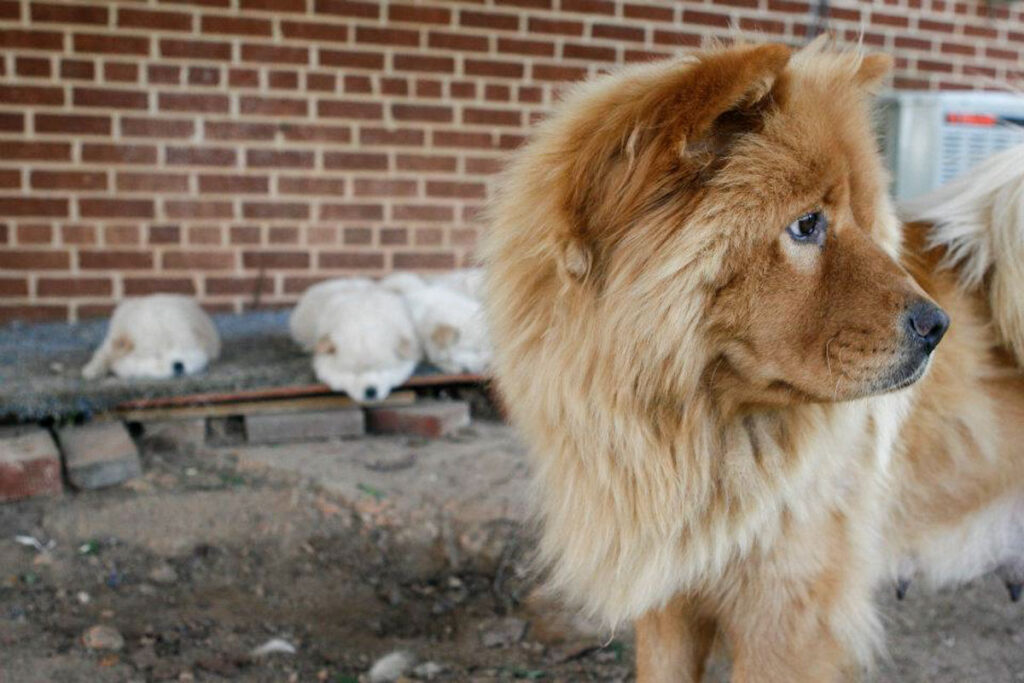 brown chow chow husky with puppies