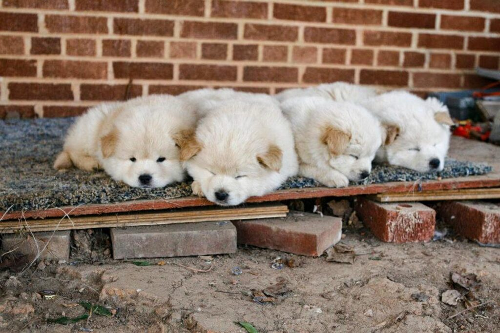 chow chow huksy puppies