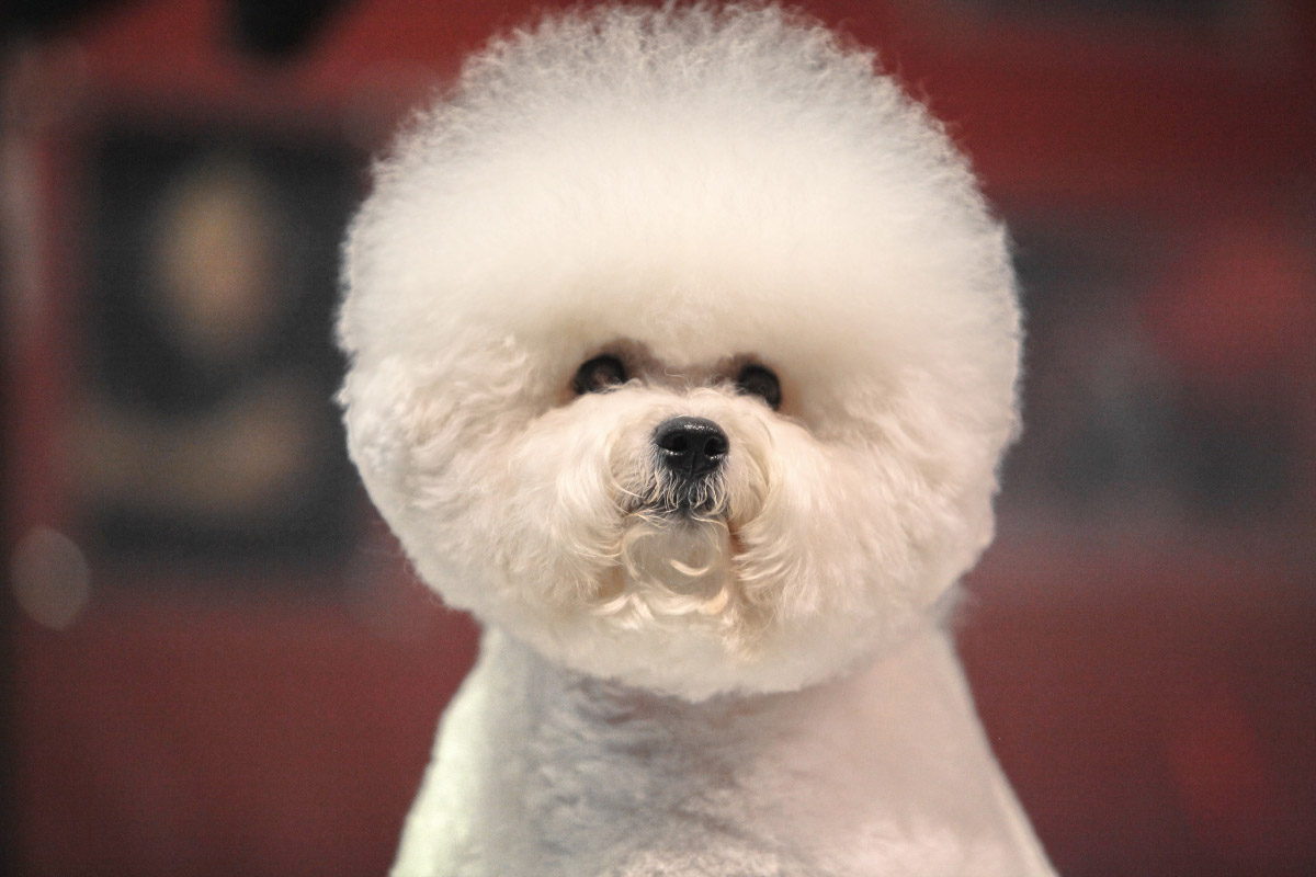 13 Things You Need to Know about the Teacup Bichon Frise