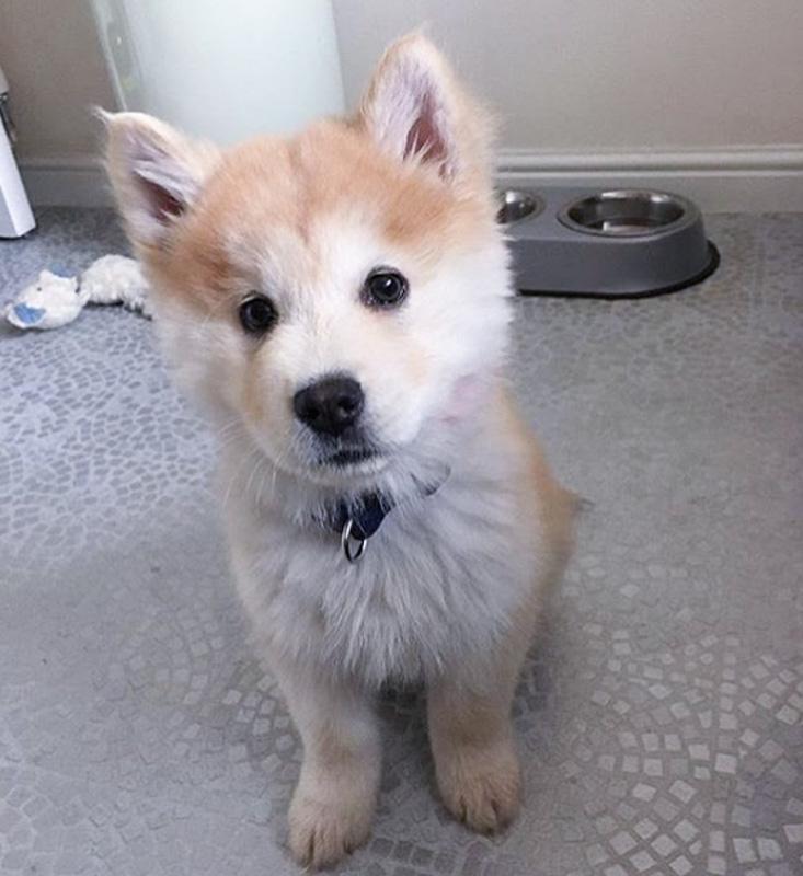 cute chow chow husky