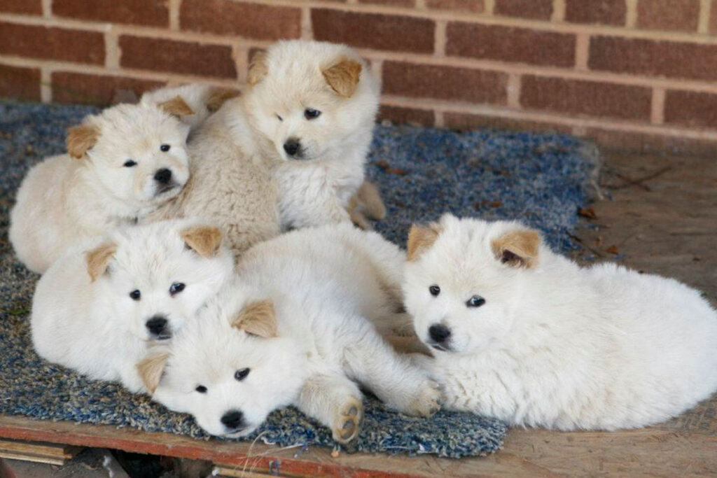 lots of chow chow husky puppies
