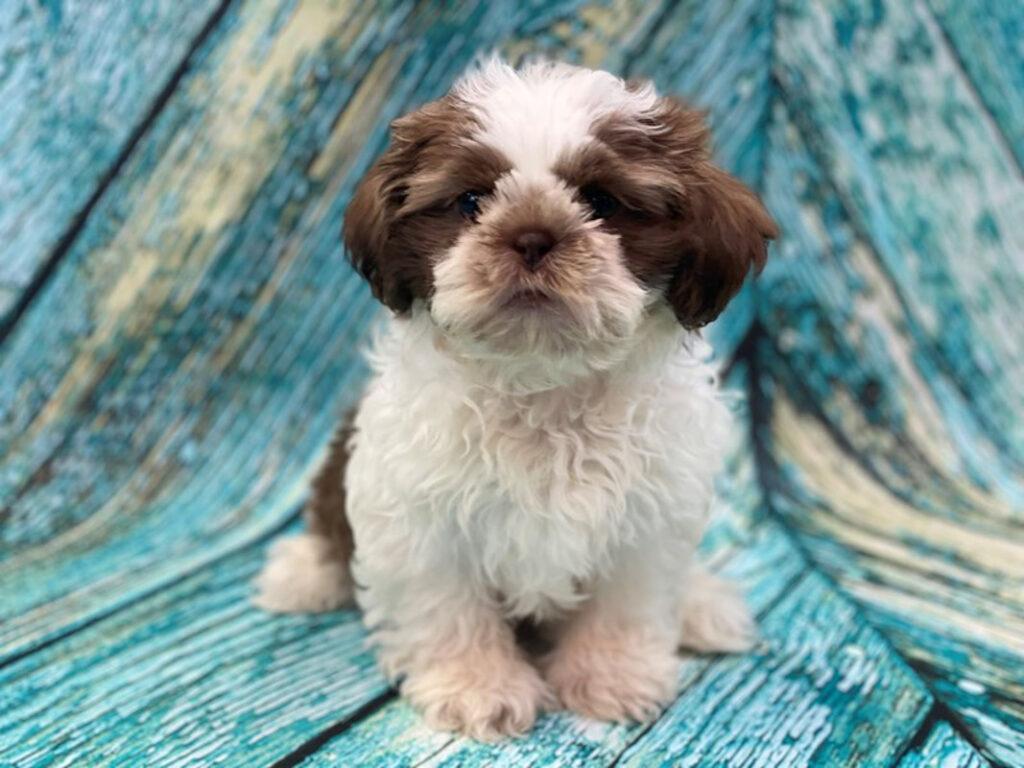 maltese shih tzu poodle puppy