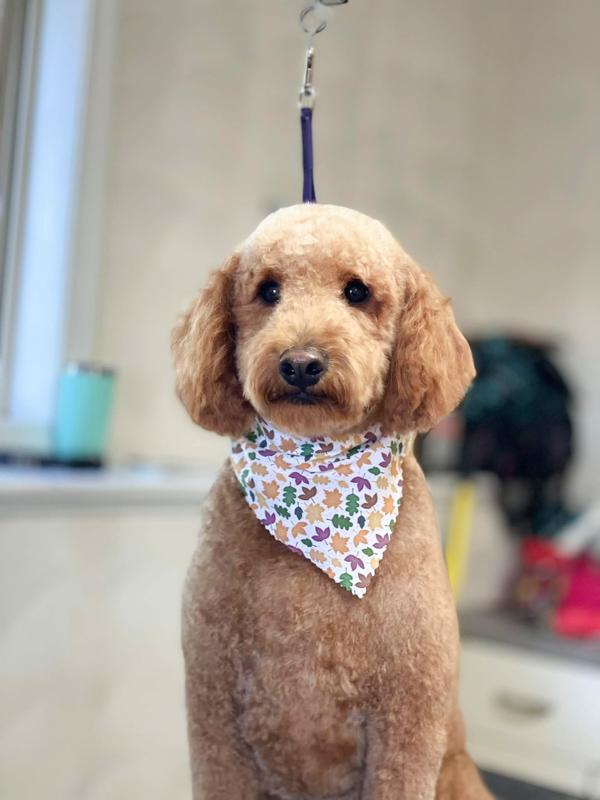maltese shih tzu poodle wearing kerchief