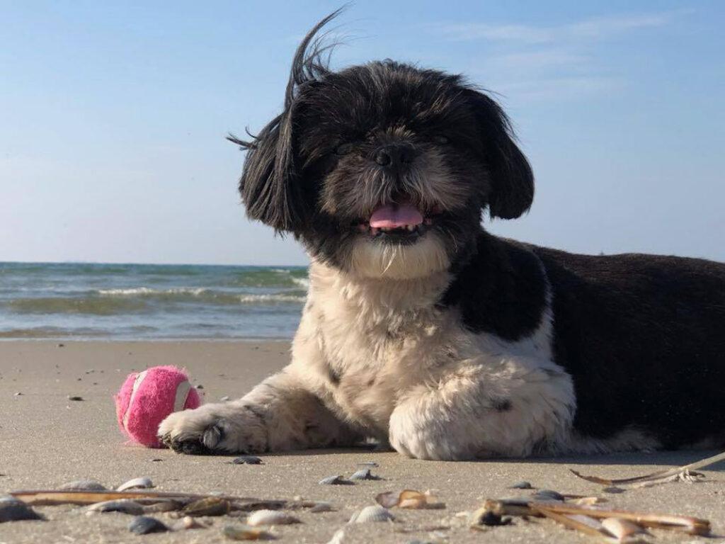 shih tzu mini on beach