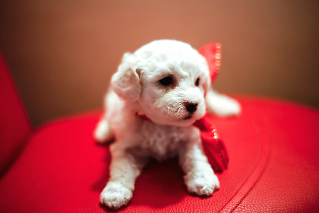 teacup bichon frise on red seat