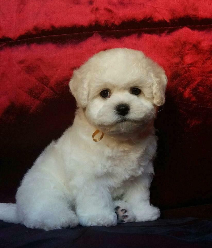 teacup bichon frise red background