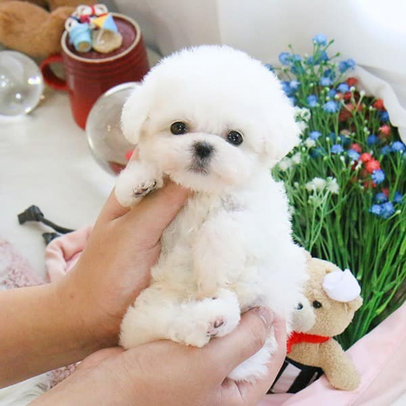 teacup bichon frise with flowers