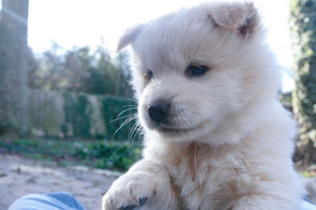 white chow chow husky puppy